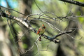 Female Cardinal In Tree - PhotoDune Item for Sale