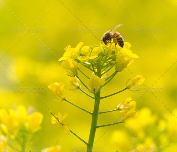 Feeding bee on yellow flower - Stock Photo - Images