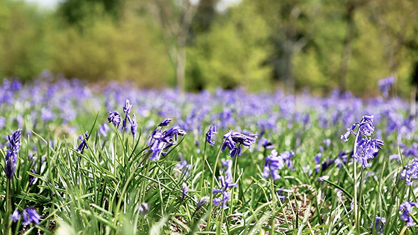 Bluebells in a Field