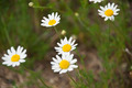 Wild Daisies on a River Beach - PhotoDune Item for Sale