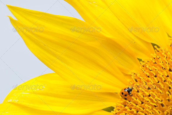 Red lady bug on blossoming sunflower - Stock Photo - Images