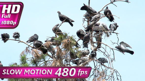 Urban Pigeons