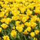 Yellow Tulips Background - PhotoDune Item for Sale