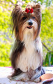 vector pedigreed dog Biewer Yorkshire terrier - PhotoDune Item for Sale