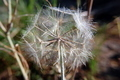 Dandelion Seeds - PhotoDune Item for Sale