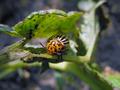 Colorado Bug on Green Leaves - PhotoDune Item for Sale