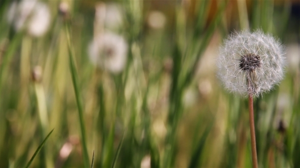Dandelion in Wind 3 Slider