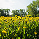 The Field Of Dandelions - VideoHive Item for Sale
