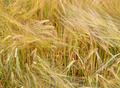 Barley field background.