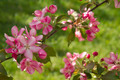 Branch of Blooming Apple Tree - PhotoDune Item for Sale