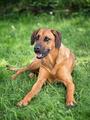 Rhodesian ridgeback dog - PhotoDune Item for Sale