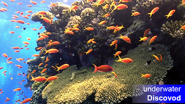 Shoal of Red Fish on Coral Reef 1