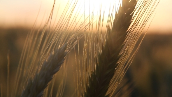 Wheat in Sun Close-up