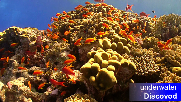 Shoal of Red Fish on Coral Reef 9
