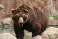 Brown Bear - PhotoDune Item for Sale