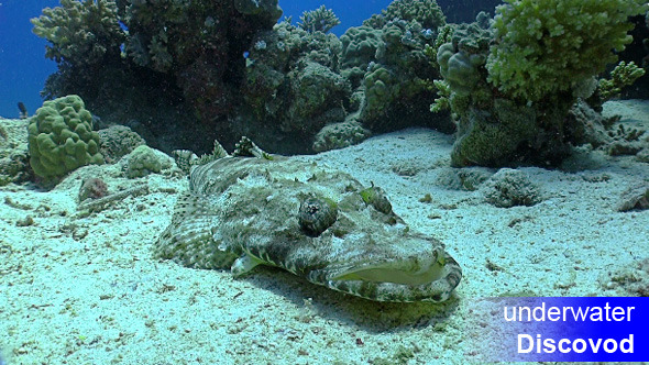 Crocodile Fish on Coral Reef