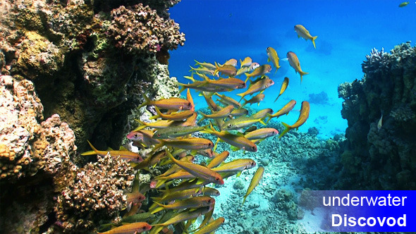Shoal of Yellow Fish on Coral Reef 8