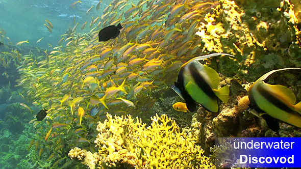 Shoal of Yellow Fish on Coral Reef 5
