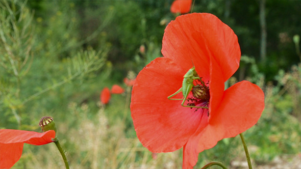 Grasshopper on Poppy Flower