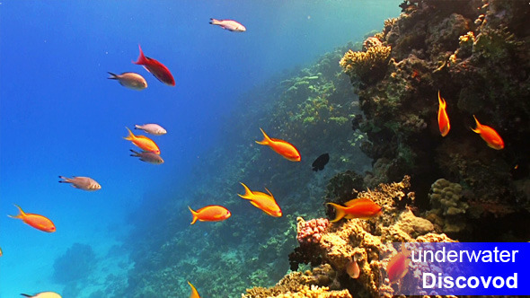 Shoal of Red Fish on Coral Reef 2