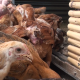 Young Chickens - VideoHive Item for Sale