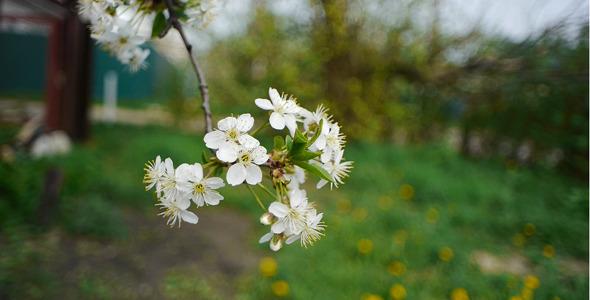 Cherry Flowers 2