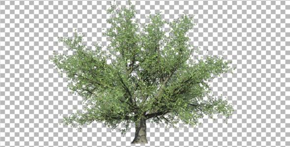Oak Tree V3