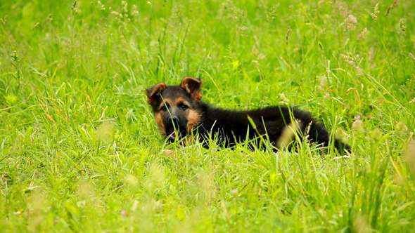 German Shepherd Puppy 2