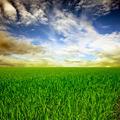 Rice field - PhotoDune Item for Sale