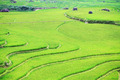 Rice paddy - PhotoDune Item for Sale