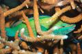 Sleeping parrotfish - PhotoDune Item for Sale
