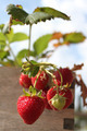 Strawberries - PhotoDune Item for Sale