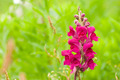 red snapdragon flower in wild - PhotoDune Item for Sale
