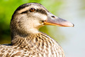 Macro portrait of  wild ducks - PhotoDune Item for Sale