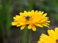 Bee on yellow flower - PhotoDune Item for Sale