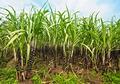 Sugar cane - PhotoDune Item for Sale