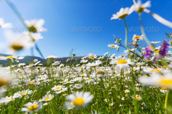 Chamomiles - Stock Photo - Images