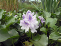 Eichhornia crassipes flower - PhotoDune Item for Sale