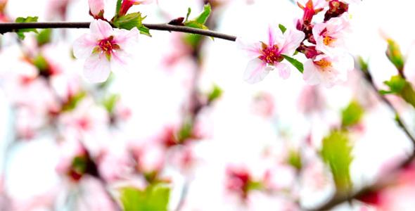 Cherry Flowers 4