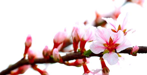 Cherry Flowers 6