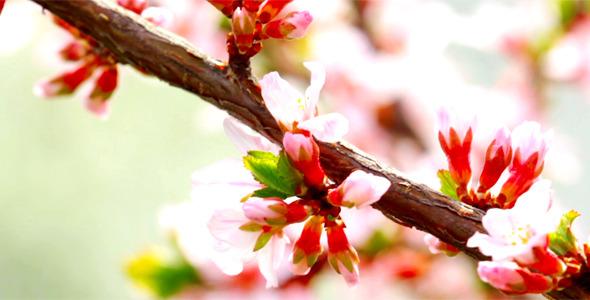 Cherry Flowers 9