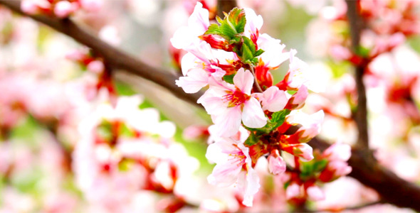 Cherry Flowers 10