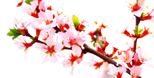 Cherry Flowers 12