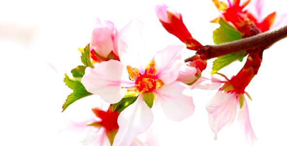 Cherry Flowers 14