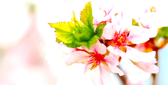 Cherry Flowers 15