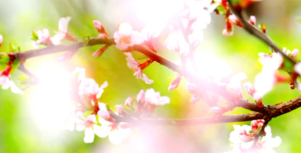 Cherry Flowers 16