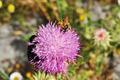 Bee on a flower - PhotoDune Item for Sale