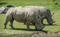 Couple of white Rhinoceros - PhotoDune Item for Sale