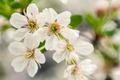 Sakura Macro - PhotoDune Item for Sale