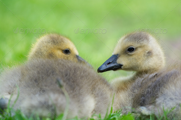 Young gooses laying in grass - Stock Photo - Images